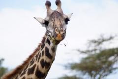 giraffe-1010261_1920