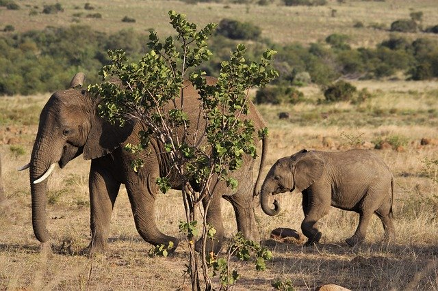 elephant-4477530_640