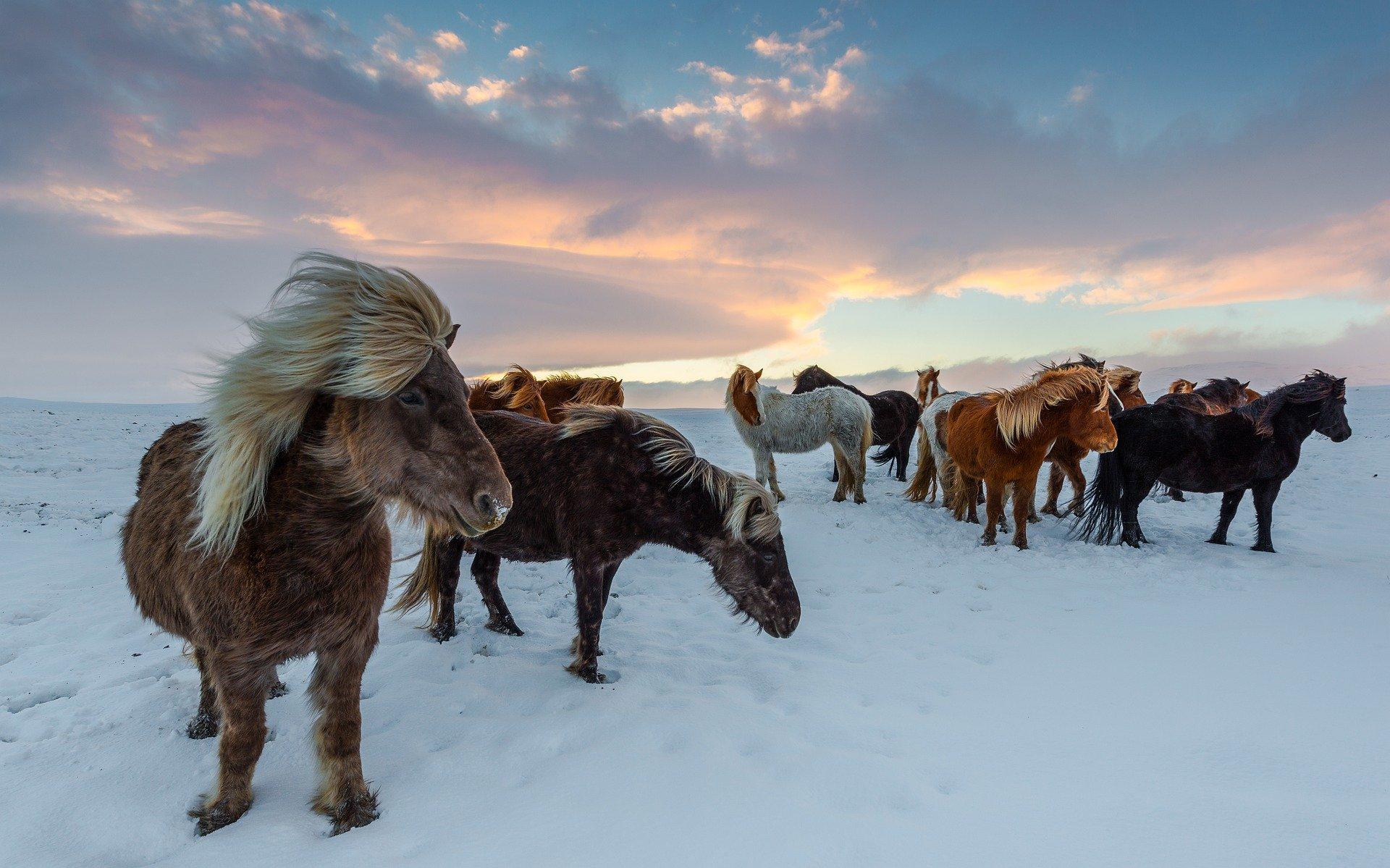 iceland-horses-4649468_1920