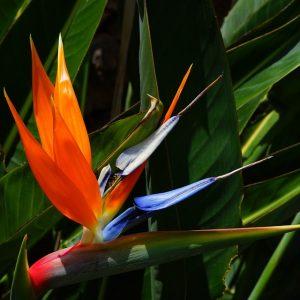 bird-of-paradise-flower-375521_960_720